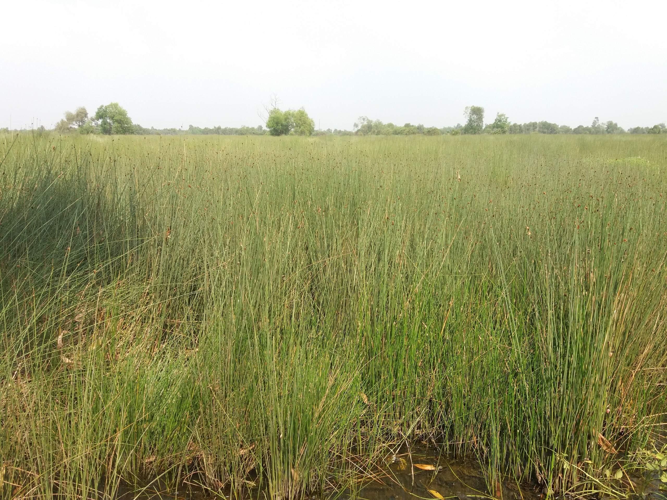 Cây cỏ bàng làm ống hút cỏ