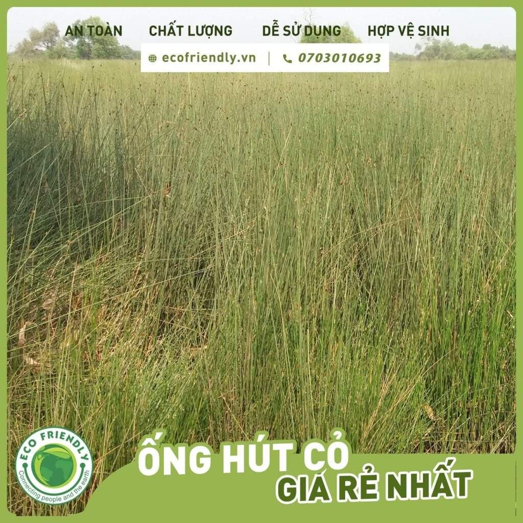 Cây cỏ bàng làm ống hút cỏ ecofriendly việt nam jsc ecofriendly.vn +84703010693
