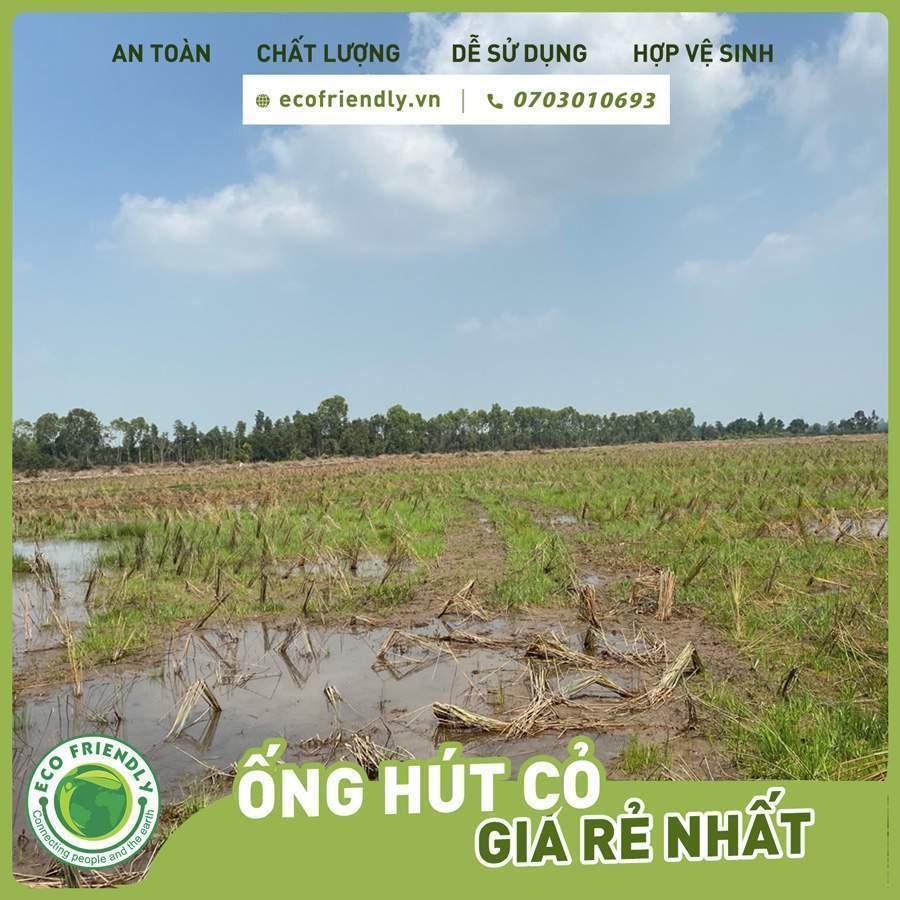 Trồng cỏ bàng làm ống hút - Con đường số 1 giúp nông dân làm giàu